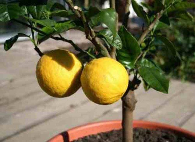 Як виростити лимон у себе вдома