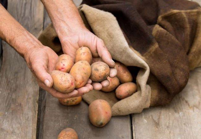 Чому псується наша картопля. Основні помилки під час зберігання