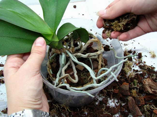 Коли та як правильно пересаджувати орхідею » Корисні поради a08b401faac73